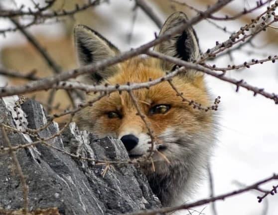 Голодная лиса вышла к людям в Измайловском парке